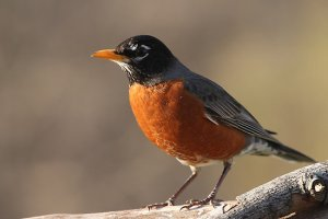 american-robin-large