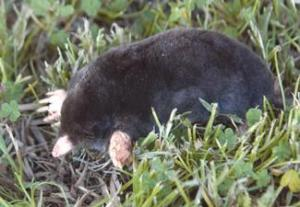broad-footed-mole-large