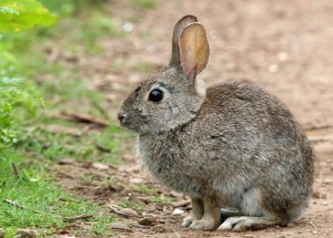 brush-rabbit-large