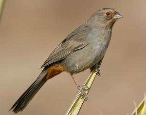 california-towhee-large