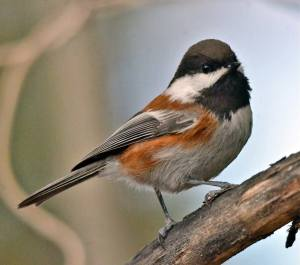 chestnut-backed-chickadee-large