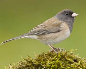 dark-eyed-junco-large