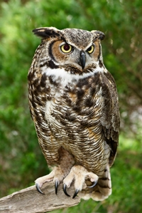 great-horned-owl-large