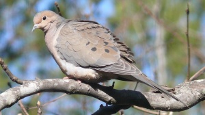 mourning-dove-large
