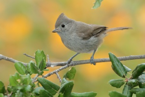 oak-titmouse-large