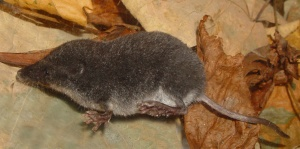 ornate-shrew-large