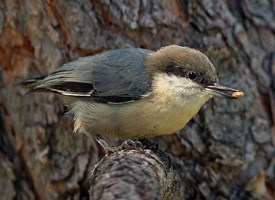 pygmy-nuthatch-large
