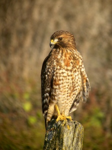 red-shouldered-hawk-large