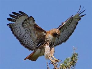 red-tailed-hawk-large