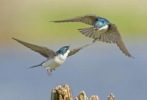 tree-swallow-large