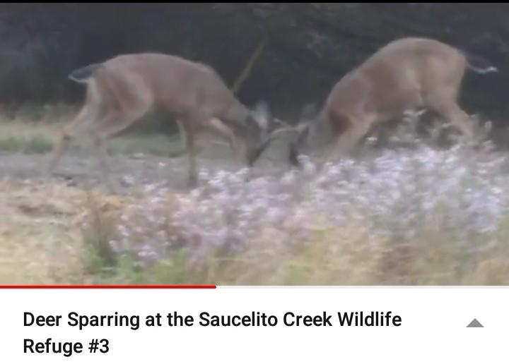 DeerSparring_3