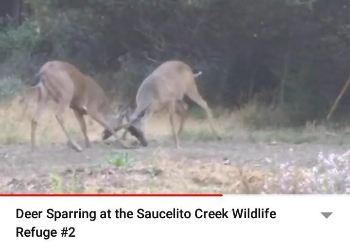 DeerSparring_2